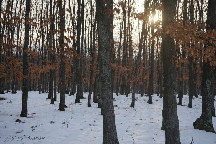 Sonnenstrahlen im Eichenwald im Winter