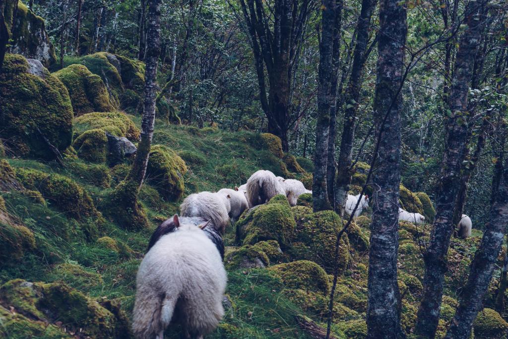 WorkandTravel und Vanlife: Schafe beim Almabtrieb
