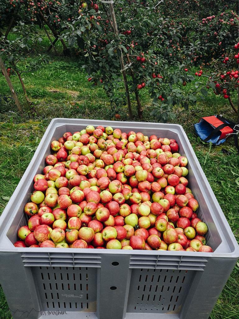 Gravensteiner Pflückäpfel