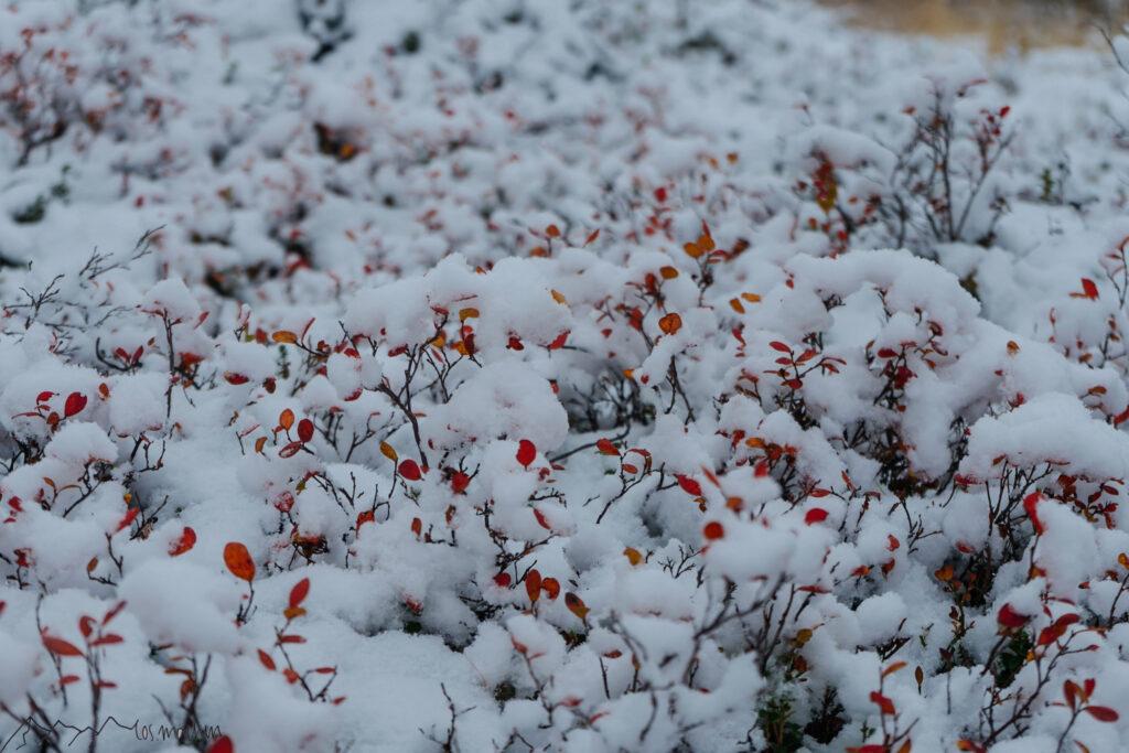 Farbige Blaubeerbüsche unter Schnee